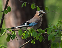 jay and nuthatches
