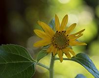 Minni-Sunflower