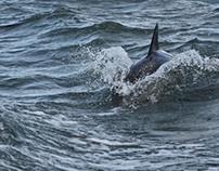 Common Dolphin - Grasholm