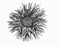 Violet Gerbera -Black And White Edition