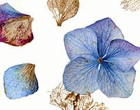 Carolyn Jenkins - Hydrangea Petals