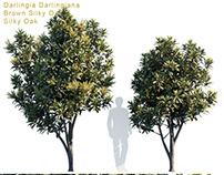 Darlingia Darlingiana | Silky Oak