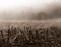Misty cornfields in Galicia