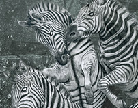 angry zebras