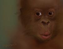 Portrait of Endangered Animals(1)-Orangutan