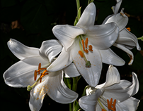 New lilies...