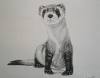 Black Footed Ferret on the Endangered Species List