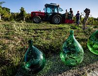 Aglianico grape harvesting 2012