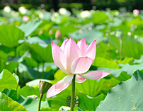 Lotus&Chinese rose-Photography