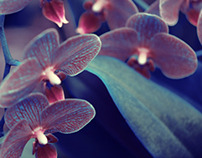 Fleur Amor