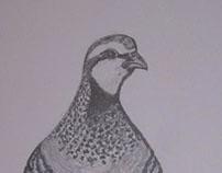 Red-legged Partridge / Perdiz-Vermelha (Alectoris rufa)