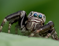 Photo Series: Nature / Case 13: The Jumping Spider