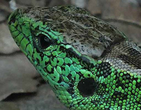 Lizard - Lacerta agilis male