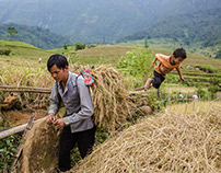 Harvest season around Sapa, Vietnam
