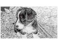 A Cardigan Welsh Corgi Puppy