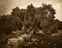Olive Trees of Lun