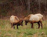 The Elk of Cataloochee