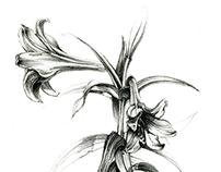 Botanical Illustration - Lily Litho