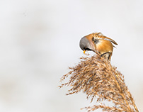 Bearded reedling (Panurus biarmicus)