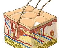 Skin structure illustration