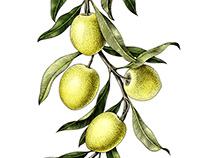 Olives branch botanical illustration