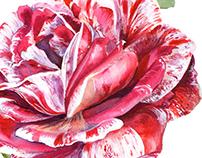 Red rose botanical painting.