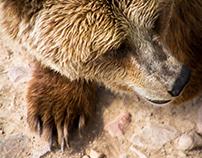 Bears of Orsa, Sweden