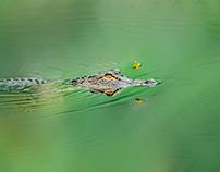 South Carolina Alligator