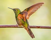 Colombian Kolibris