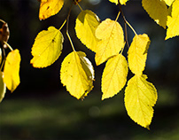 Autumn Mulberry Leaves