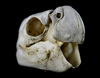 Psittaciformes (Study of a Parrot Skull)