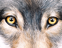 Watercolor painting of a gray wolf