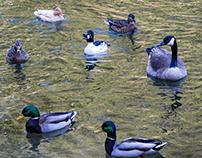 The Bufflehead duck