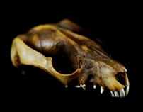 Phalangeriformes (Study of a Possum Skull)