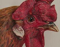 Rooster Portrait drawing / Haan portrettekening