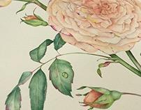 English Rose watercolor illustration