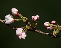 FLOWERING OF CHERRY BLOSSOMS IN 2018