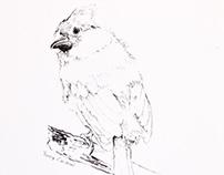 Week I - Birds 30daydrawinganimals