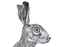 Pencil Illustration of a Brown Hare