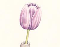 Tulip 170511