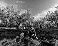 La raccolta delle olive in famiglia