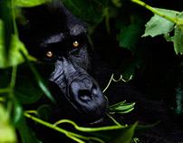 Silverback Gorillas, Bwindi NP