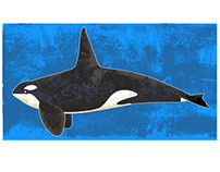 Killer Whale / Orca Illustration