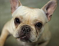 Photography French Bulldogs