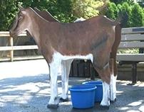 Milking Goat, 2005