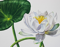 Watercolour water lily Botanical illustration