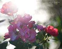 ROSES...3