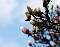 Cieszyn magnolias.