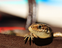 Lizard on a tong