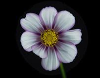 Cosmos flowers & poppy
